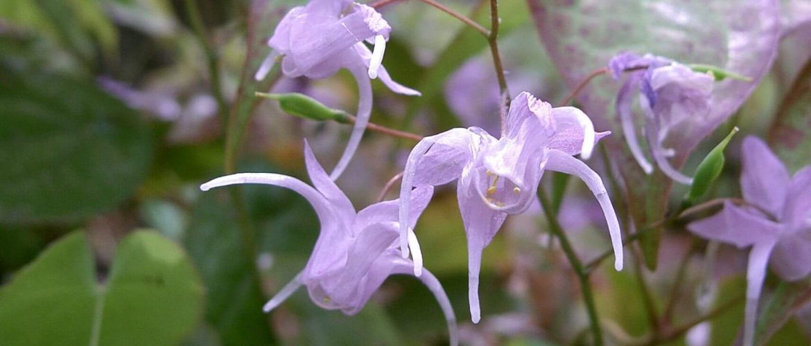 Does Horny Goat Weed Really Work?
