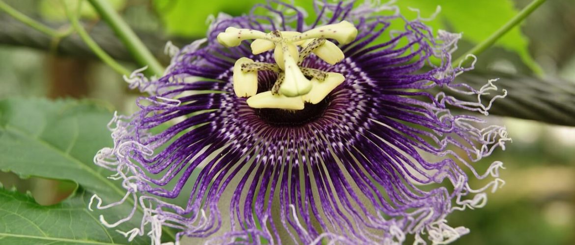 Passion Flower Benefits Dr Sarah Brewer
